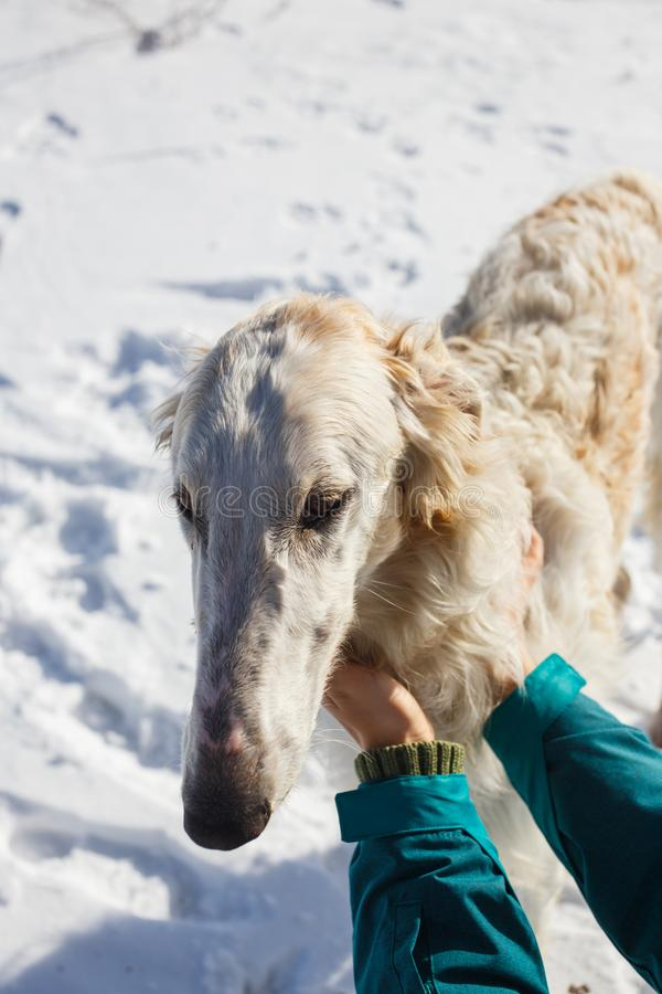 Female hands stroking the head of a white borzoi royalty free stock photo