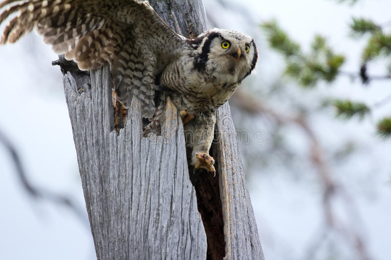 Female hawk owl flies from tree hole where nest. Clearly visible yellow eyes of predator and claws stock photography