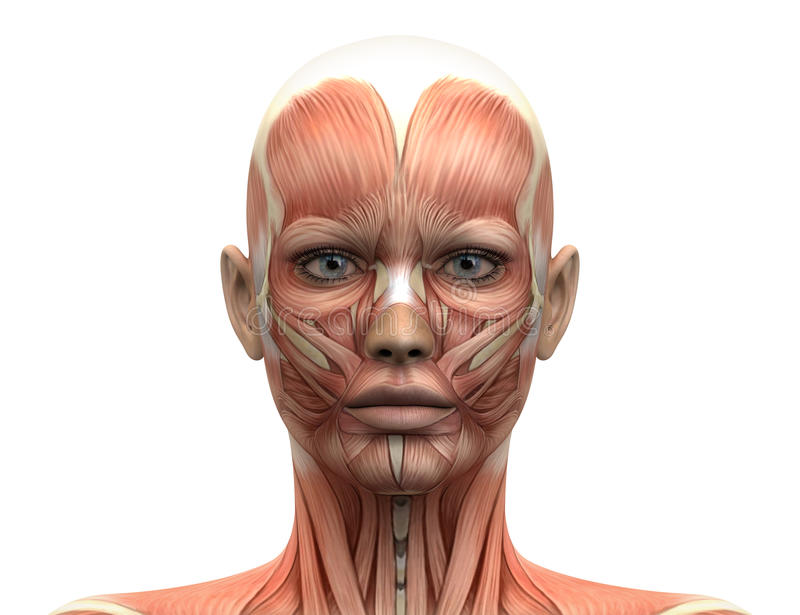 Female Head Muscles Anatomy - Front view stock illustration