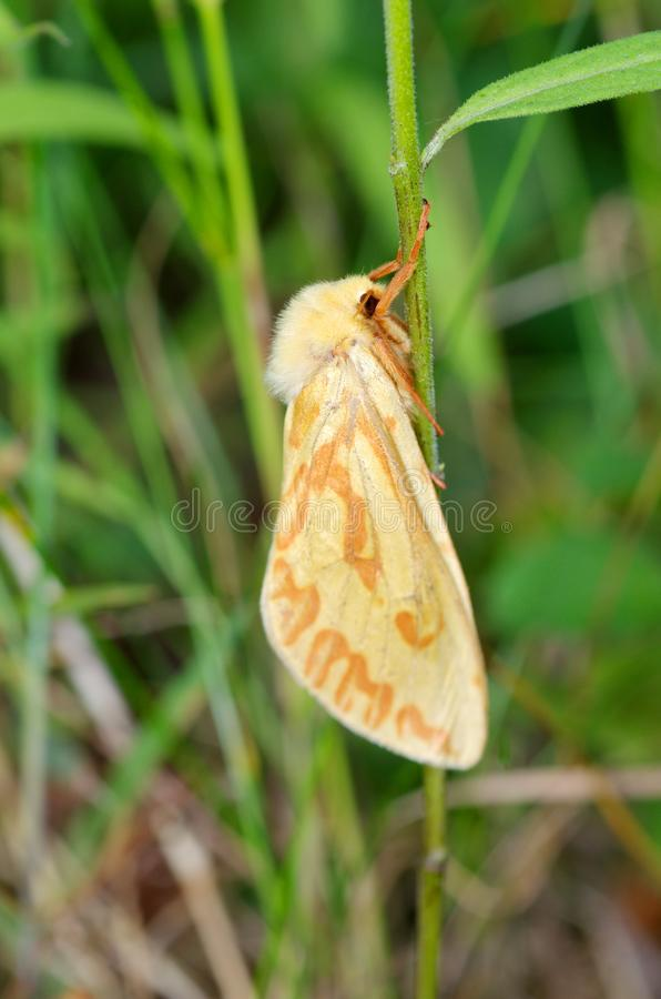 Female ghost moth Hepialus humuli. The female Hepialus humuli on the blade of grass stock image