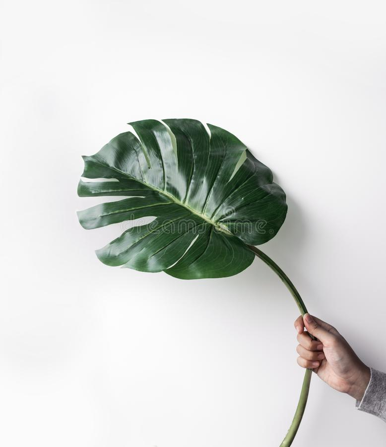 Female holding monstera leaf on white studio background.hipster, nature,fashion concepts stock photography