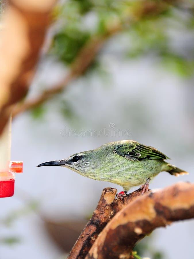 Female Honeycreeper Bird Royalty Free Stock Images
