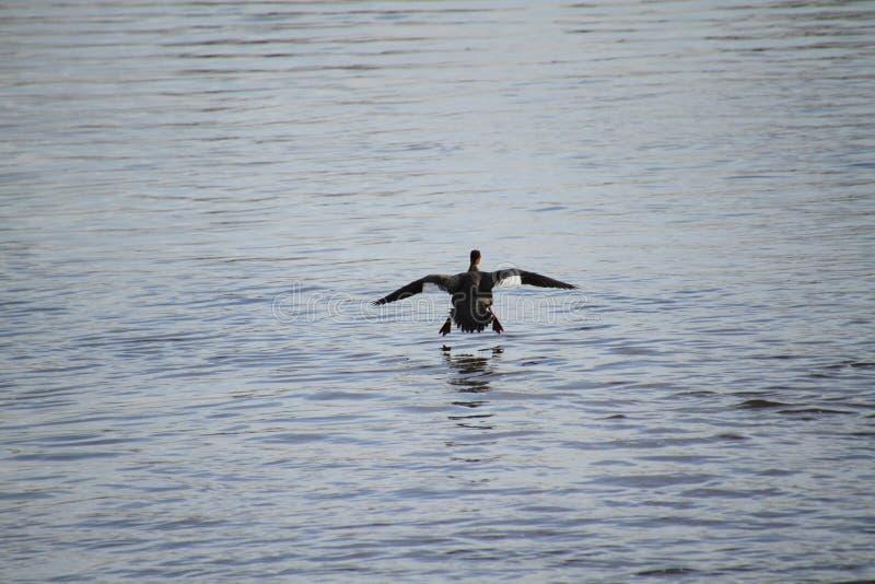 A female hooded merganser coming in for a landing stock photo