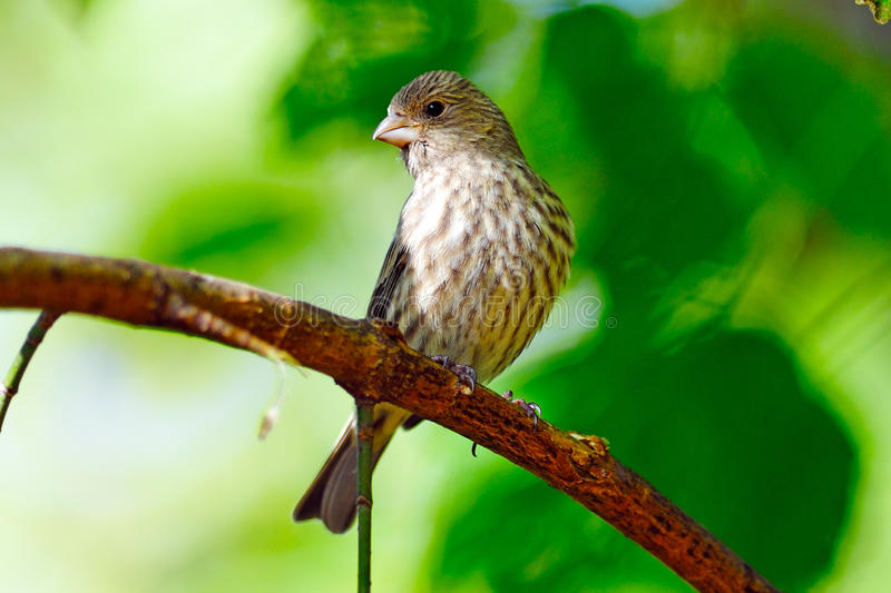 Female House Finch. Perched on tree branch royalty free stock photos