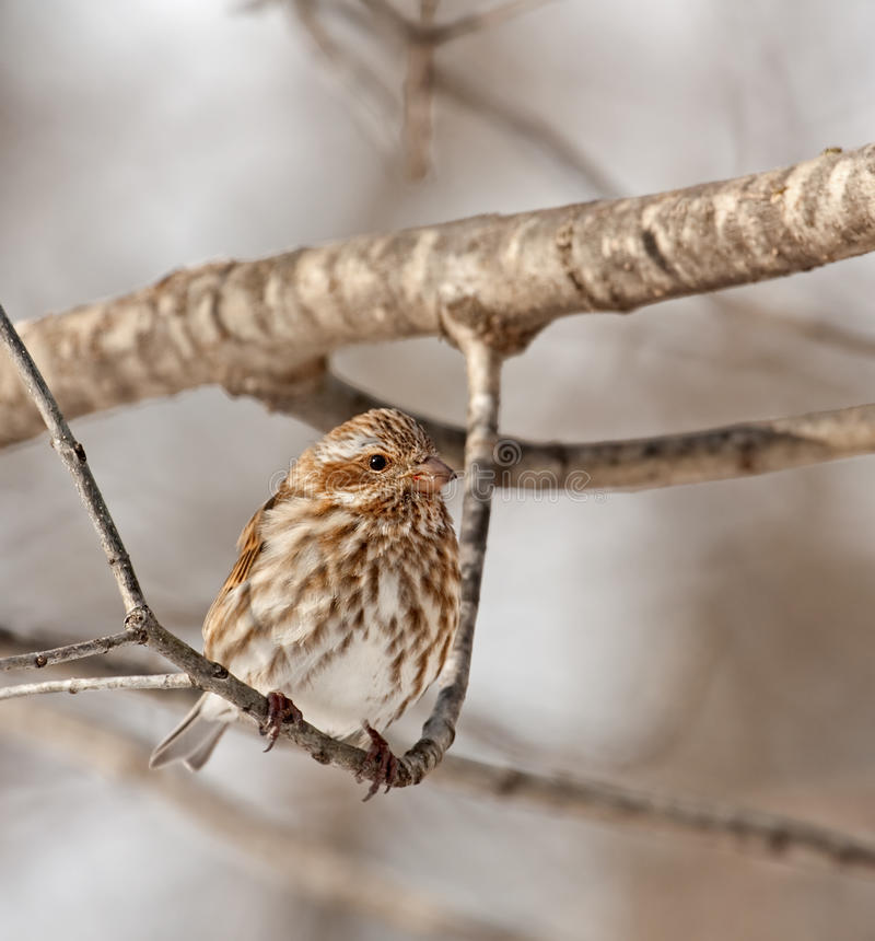 Download Female House Finch (Carpodacus Mexicanus) Royalty Free Stock Photography - Image: 12682937