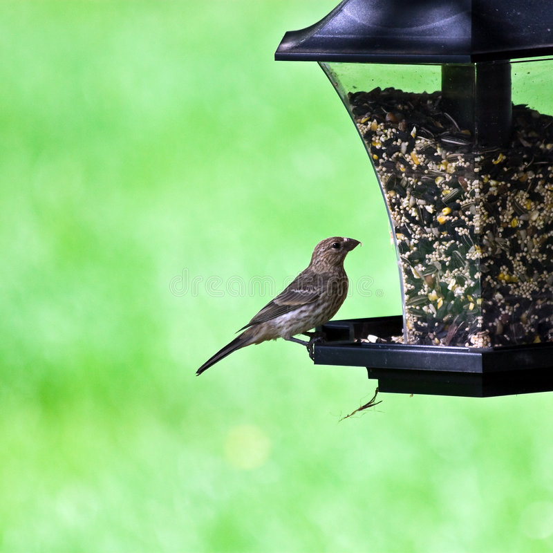 Female House Finch on Feeder royalty free stock photo