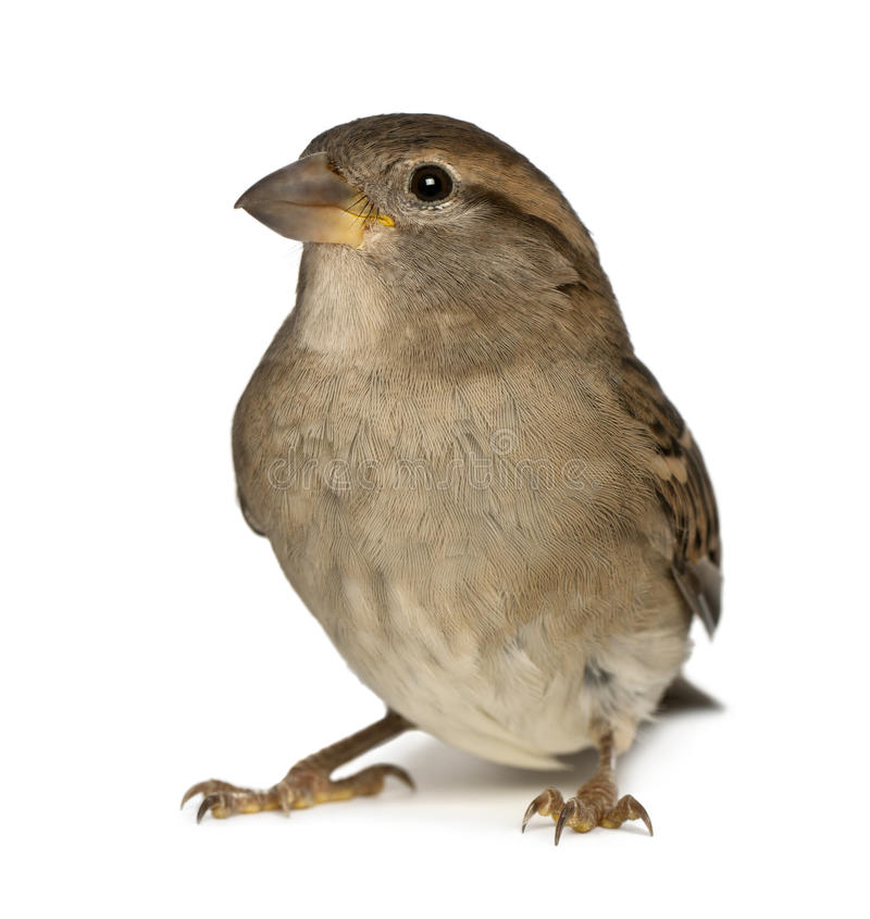 Female House Sparrow royalty free stock images