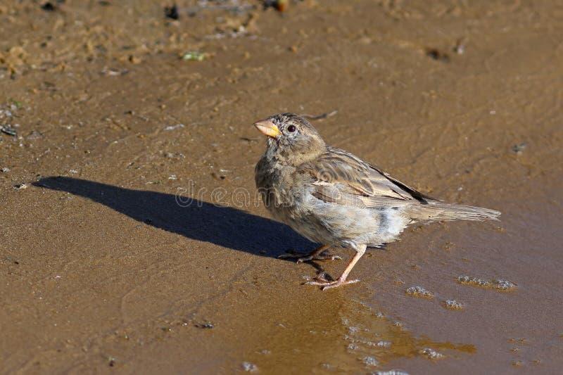 Female house Sparrow on the lake shore. Passer domesticus. The female house Sparrow closeup on the Yamal Peninsula royalty free stock photography