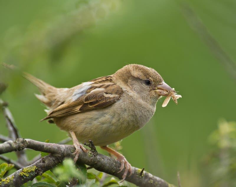 Female House Sparrow with moth stock photos