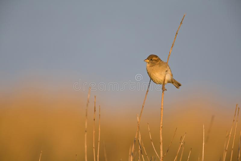A female House sparrow Passer domesticus perched on a reed branch in the golden morning sun. stock images