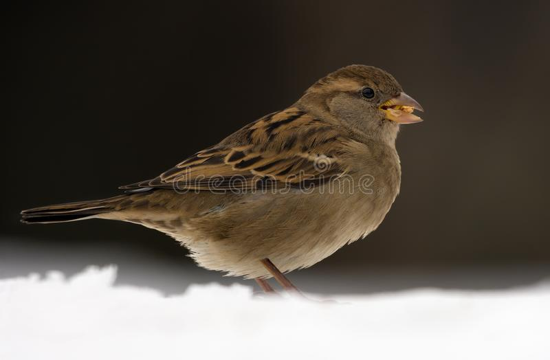 Female House sparrow posing in snow for a portrait in dull overcast winter day royalty free stock photos