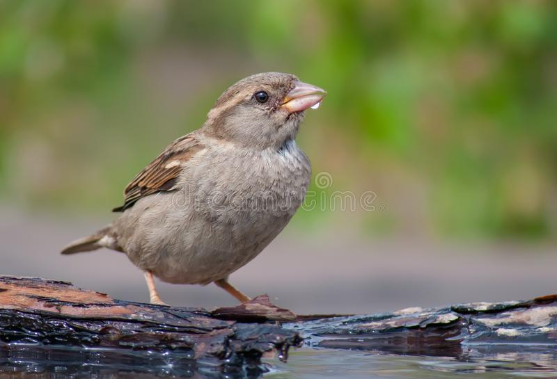 Female House sparrow sits near a pond with water blob on the beak. Female House sparrow posing for a portrait with water drop on the beak royalty free stock photography