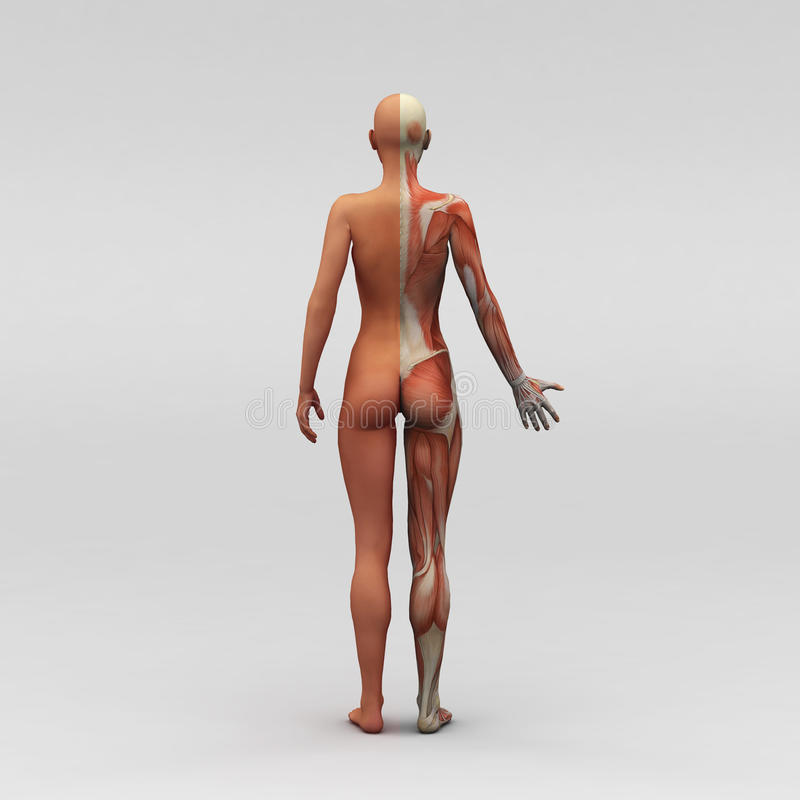 Female human anatomy and muscles. 3D rendering of human with muscles stock illustration