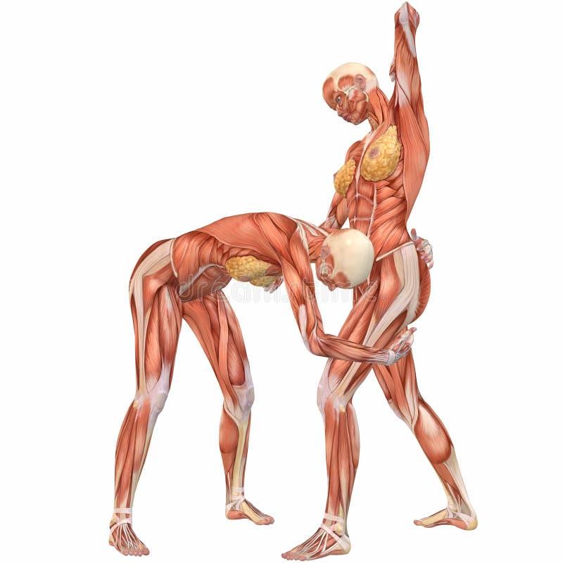 Female Human Body Anatomy-Street Fight Stock Illustration ...