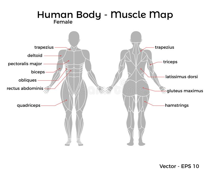 Female Human Body Muscle map vector illustration