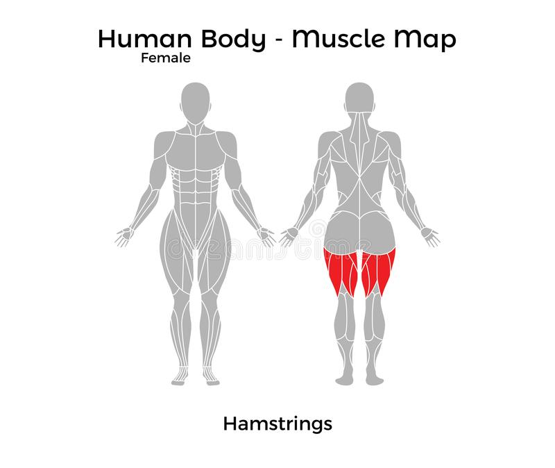 Female Human Body Muscle Map Hamstrings Stock Vector