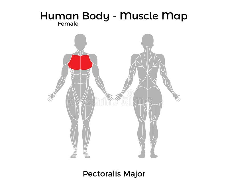 Female Human Body - Muscle map, Pectoralis Major vector illustration