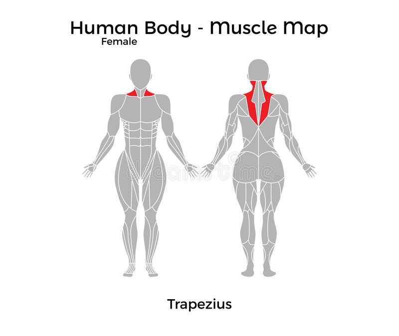 Female Human Body - Muscle Map, Trapezius Stock Vector ...