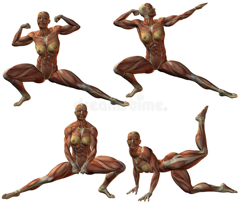 Female Human Bodybuilder Anatomy Stock Illustration - Illustration ...