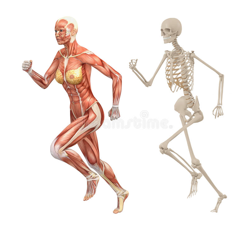Female Human Muscles And Skeleton Stock Illustration Illustration