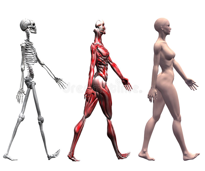 Female Human Muscles Skeleton