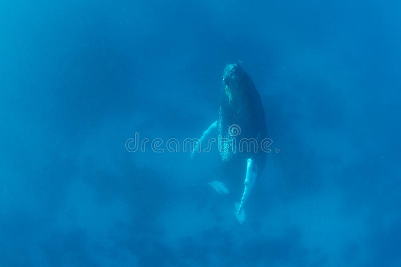 Female Humpback Whale Sleeping Vertically in Blue Water stock photography