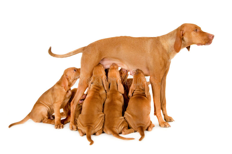 Female Hungarian Pointer (vizsla) with her puppies. Female Hungarian Pointer, lactation, vizsla, isolated on white stock images