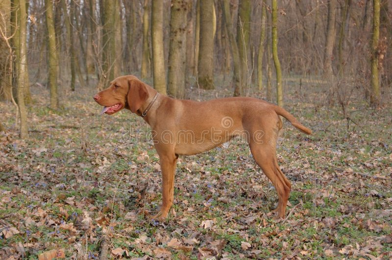 Female Hungarian Vizsla. Hungarian Vizsla female hunting dog in the woods stock image