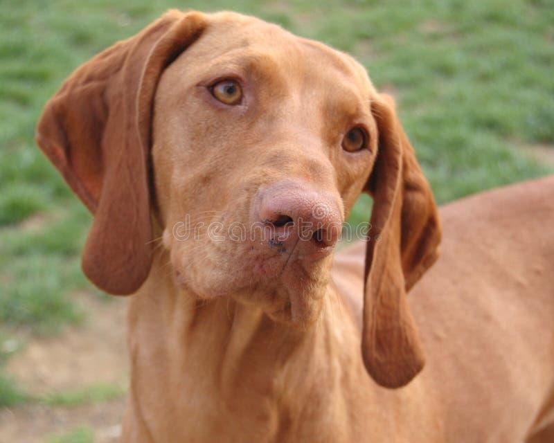 Female Hungarian Vizsla portrait. Hungarian Vizsla female hunting dog portrait stock photography