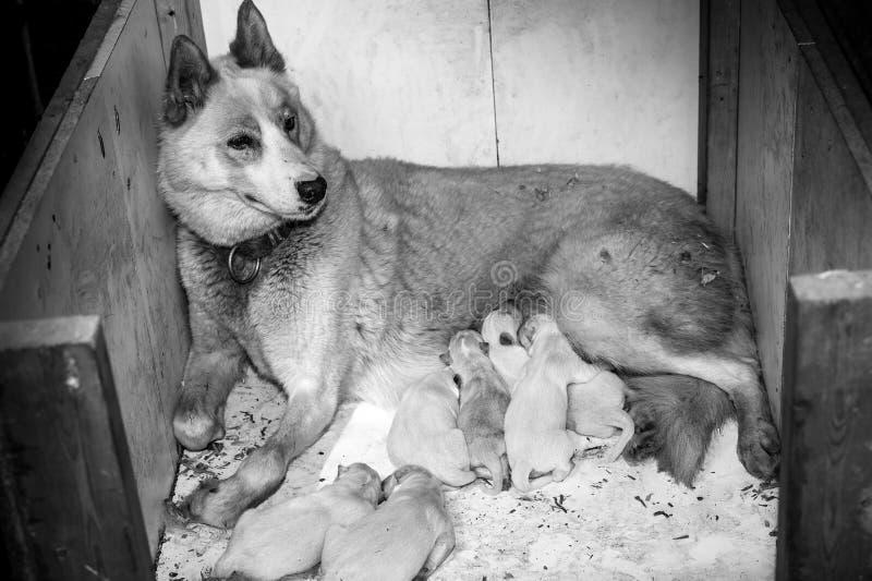 Female husky dog and family stock photo