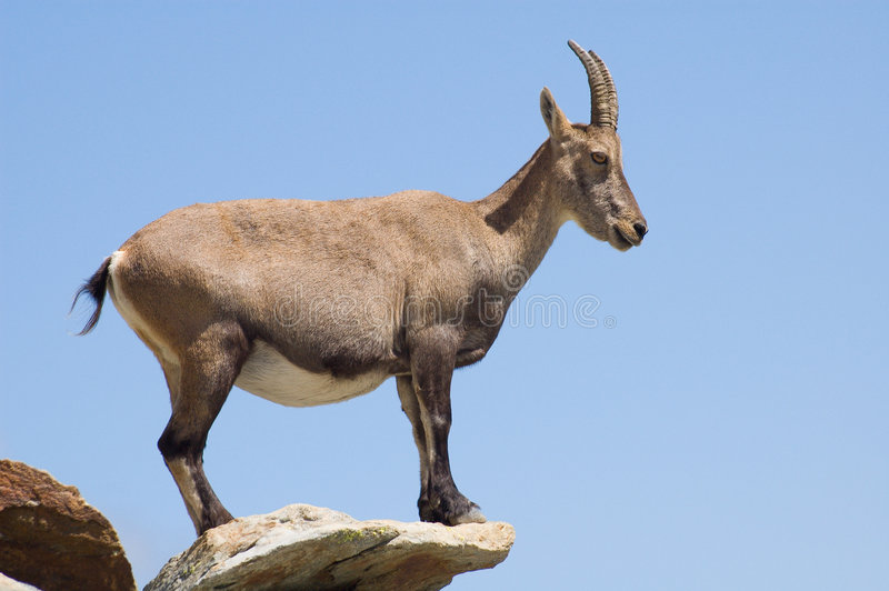 Download Female Ibex alert stock image. Image of stone, wildlife - 3053355