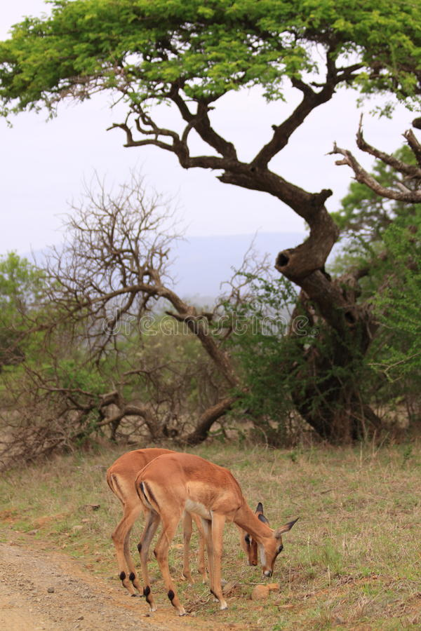Download Female impala african tree stock photo. Image of mammal - 47662598
