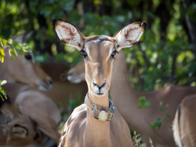 Female impala antelope with tracking device in Moremi NP, Botswana stock images