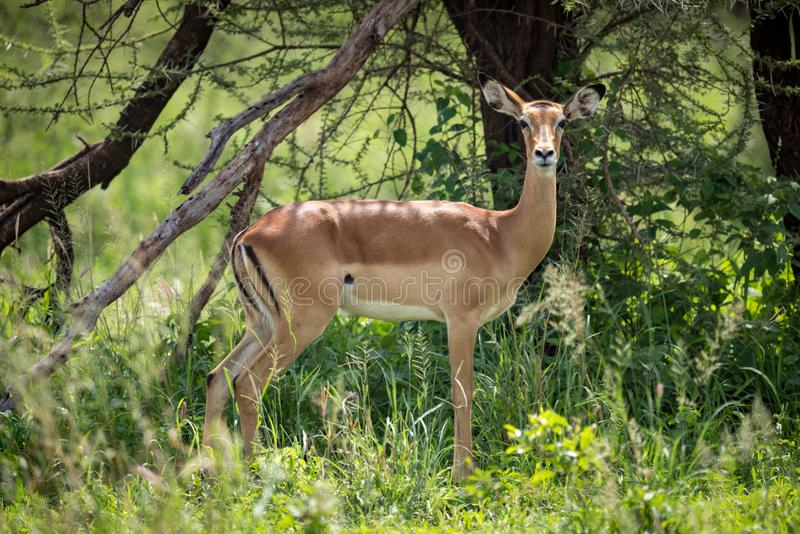 Female impala in profile standing by tree stock photography