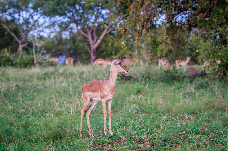 Download Female Impala Starring At The Camera. Stock Photo - Image: 83722397