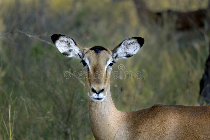 Female impala in the wild stock photos