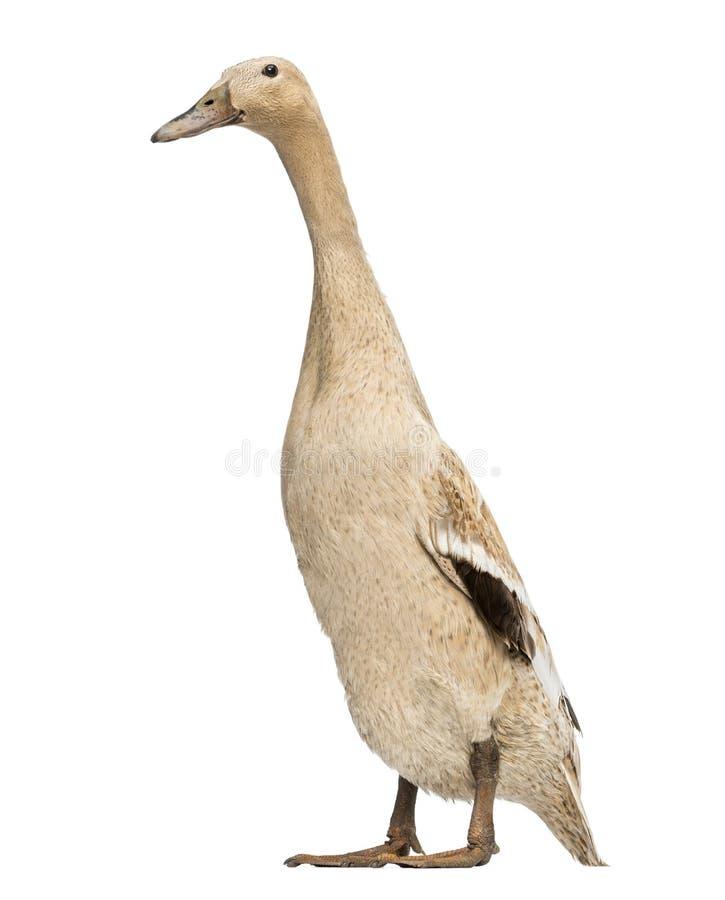 Free Female Indian Runner Duck, Anas Platyrhynchos Domesticus, Standing Stock Photo - 32486460