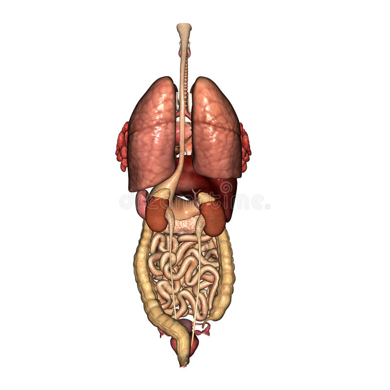 Female Internal Anatomy Back View Stock Illustration - Illustration ...