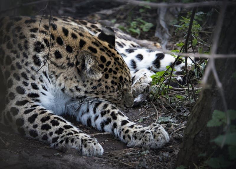Female Jaguar in captivity stock photography