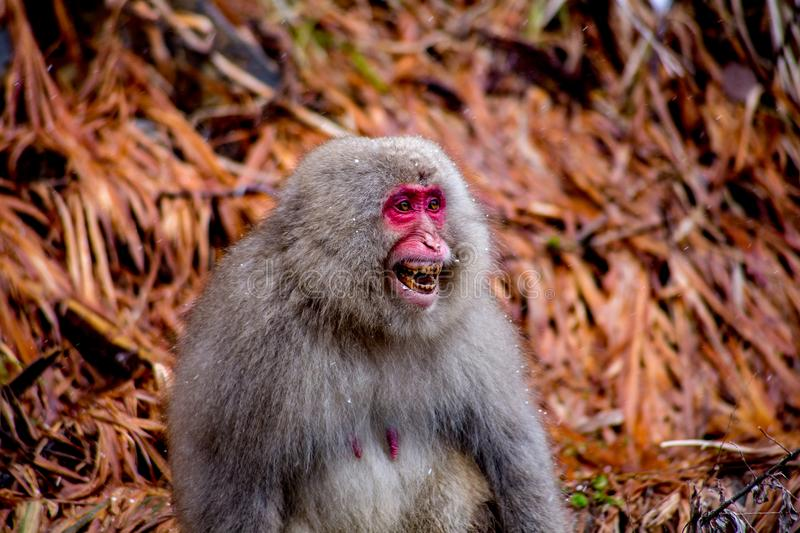 Angry wild female Japanese Macaque. A female Japanese Macaque, or snow monkey, yells at a male who attempted to get a bit frisky, which she clearly didn`t stock photography