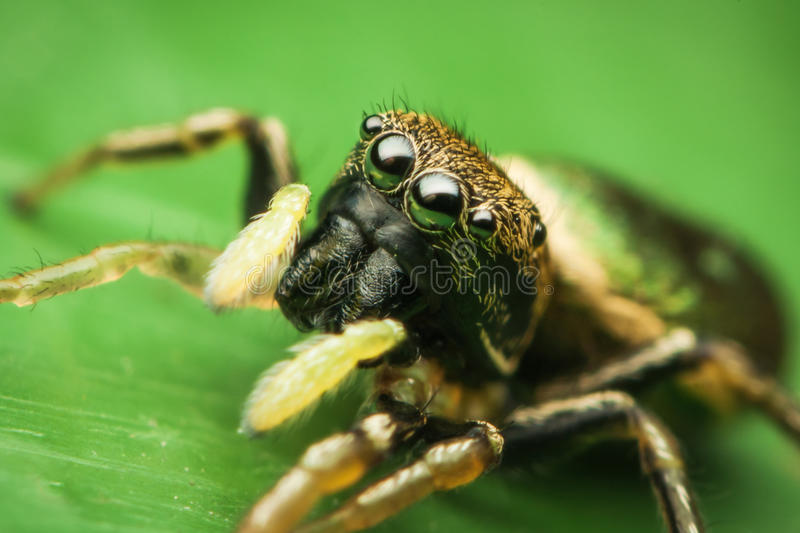 Download Female Jumping Spider Royalty Free Stock Photo - Image: 25127175