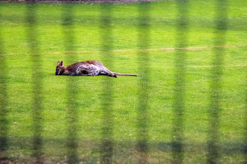 Female kangaroo with a little cub in the zoo on the ground with royalty free stock images