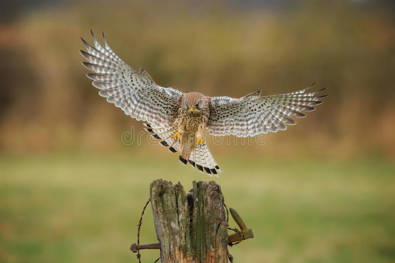 Female kestrel coming in to land royalty free stock photos