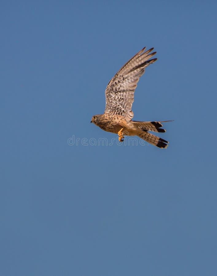 Female Kestrel flying royalty free stock photos