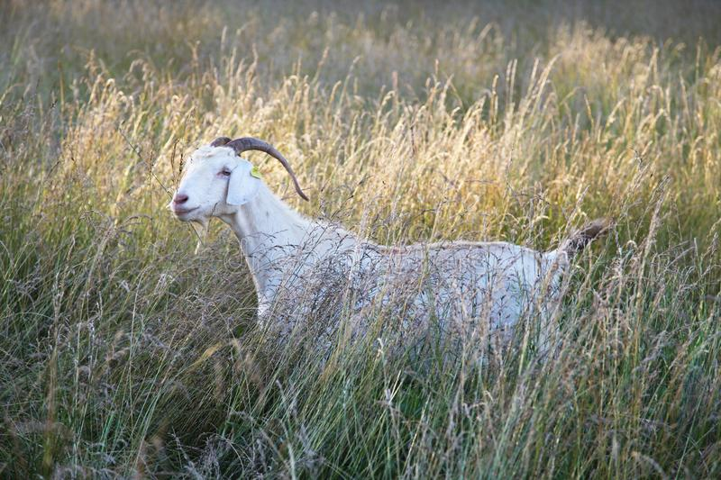 Female Kiko goat sanding in meadow. Kiko goats are a hearty breed of white goat that originated from New Zealand. The goats are raised as breeders and for meat royalty free stock photos