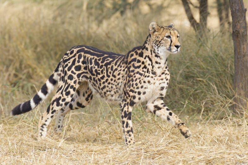 Female King Cheetah (Acinonyx jubatus), South Africa. A rare female King Cheetah (Acinonyx jubatus) in South Africa, running through the bushveld royalty free stock images