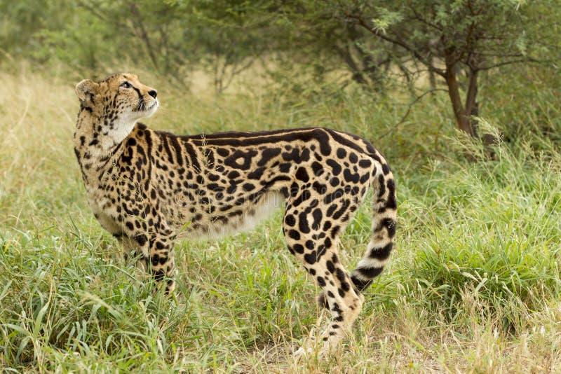 Female King Cheetah (Acinonyx jubatus) South Africa. Female King Cheetah standing looking up South Africa stock images