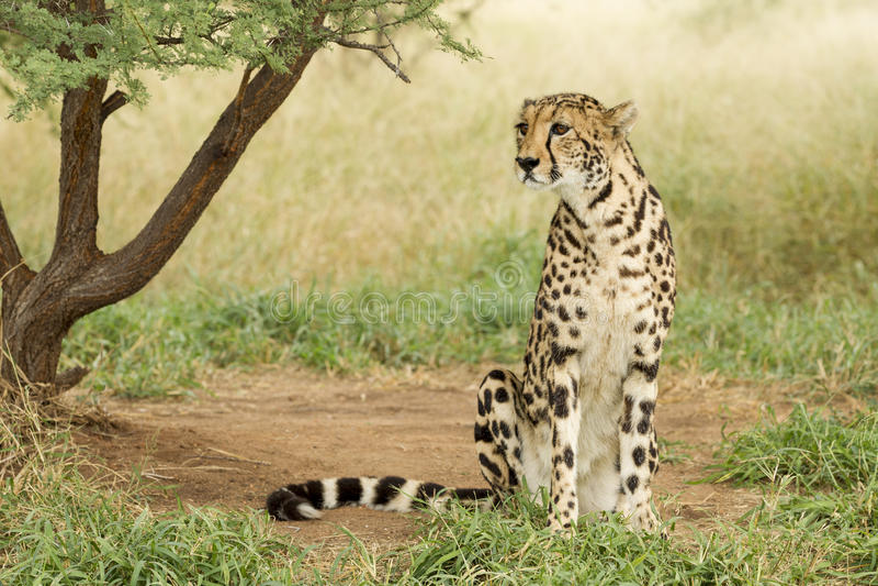Female King Cheetah (Acinonyx jubatus) South Africa. Female King Cheetah sitting up South Africa royalty free stock photo