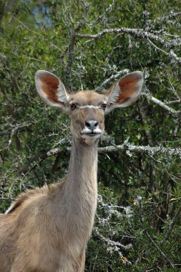 Download Female Kudu Antelope stock image. Image of environment - 1133931