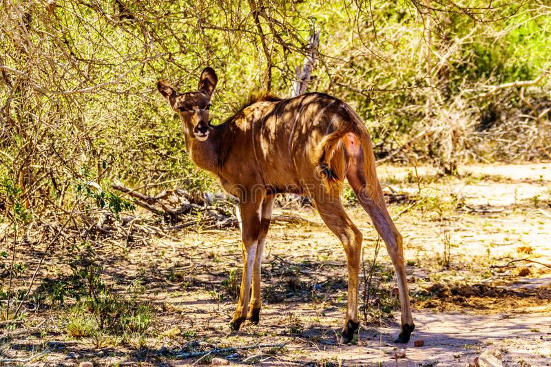 Female Kudu near Skukuza in Kruger National Park. In South Africa royalty free stock photography